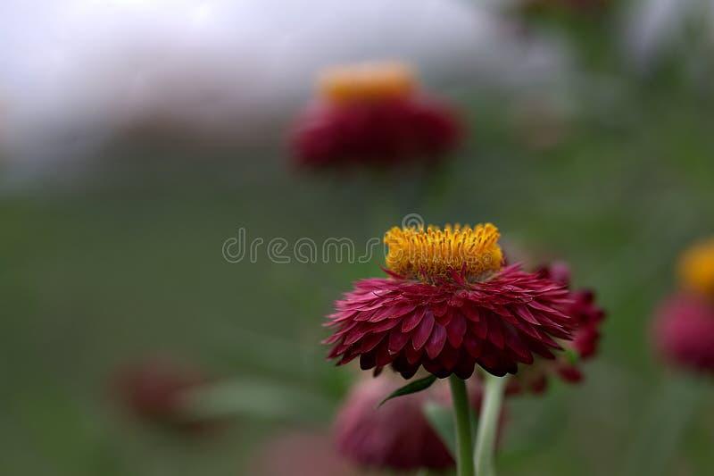 Lotti dei fiori in un campo immagini stock