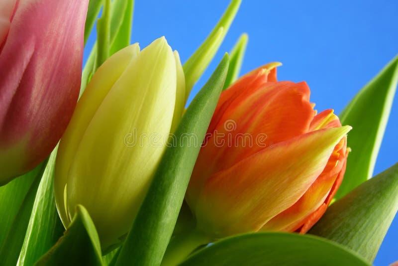 Lotti dei tulipani fotografia stock