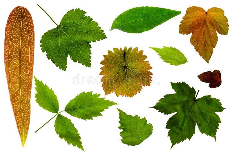 Lotti delle foglie su un fondo bianco immagine stock