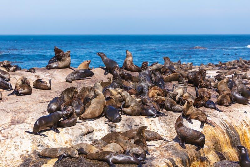 Lotti delle guarnizioni su un'isola della guarnizione della baia di Hout a Cape Town immagine stock