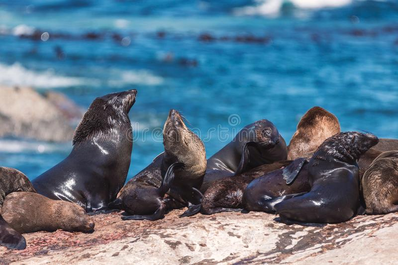 Lotti delle guarnizioni su un'isola della guarnizione della baia di Hout a Cape Town fotografia stock