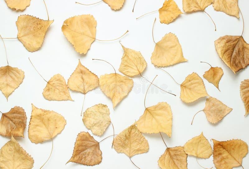 Lotto delle foglie cadute del pioppo su un fondo bianco fotografie stock libere da diritti