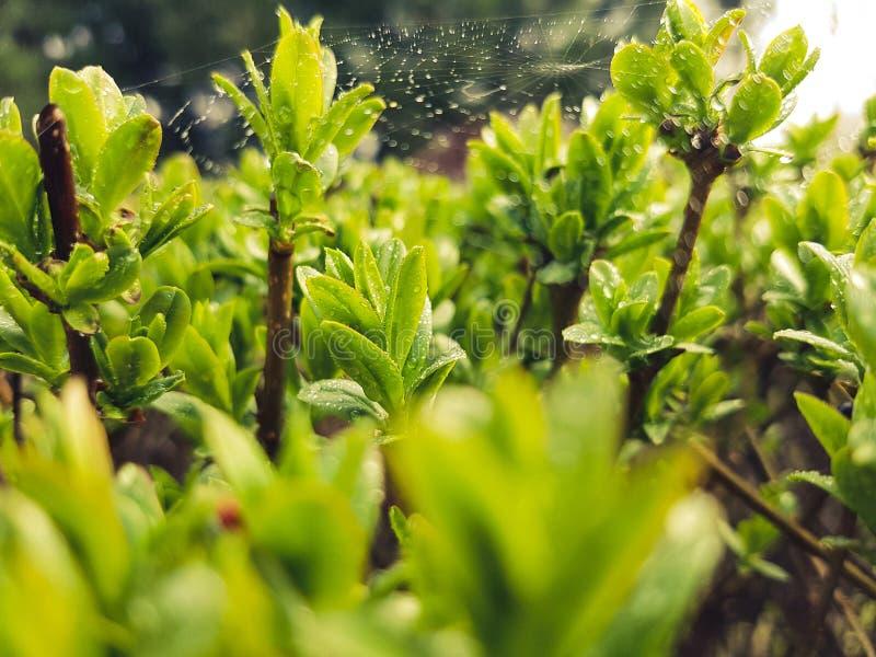 Lotto di piccole foglie verdi con le gocce di pioggia e di piccola ragnatela su  immagine stock libera da diritti