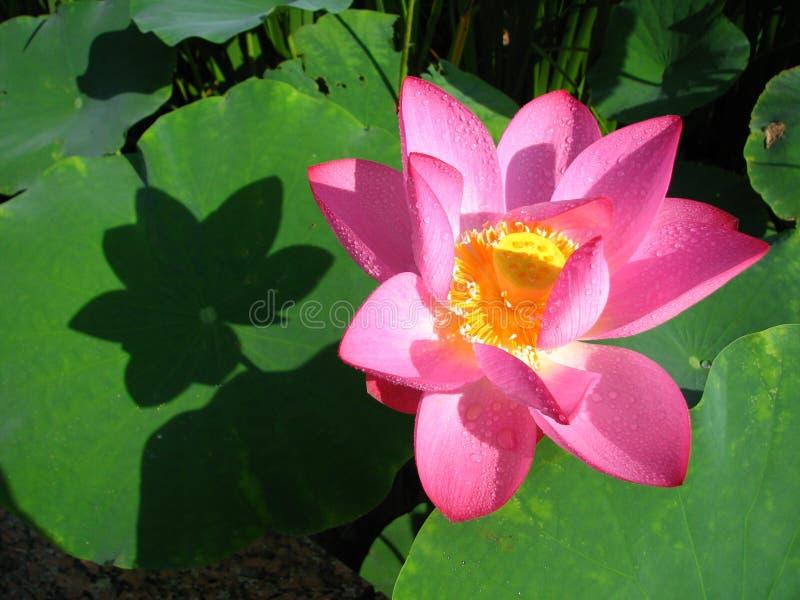 Lotus är helig och elegant arkivbilder
