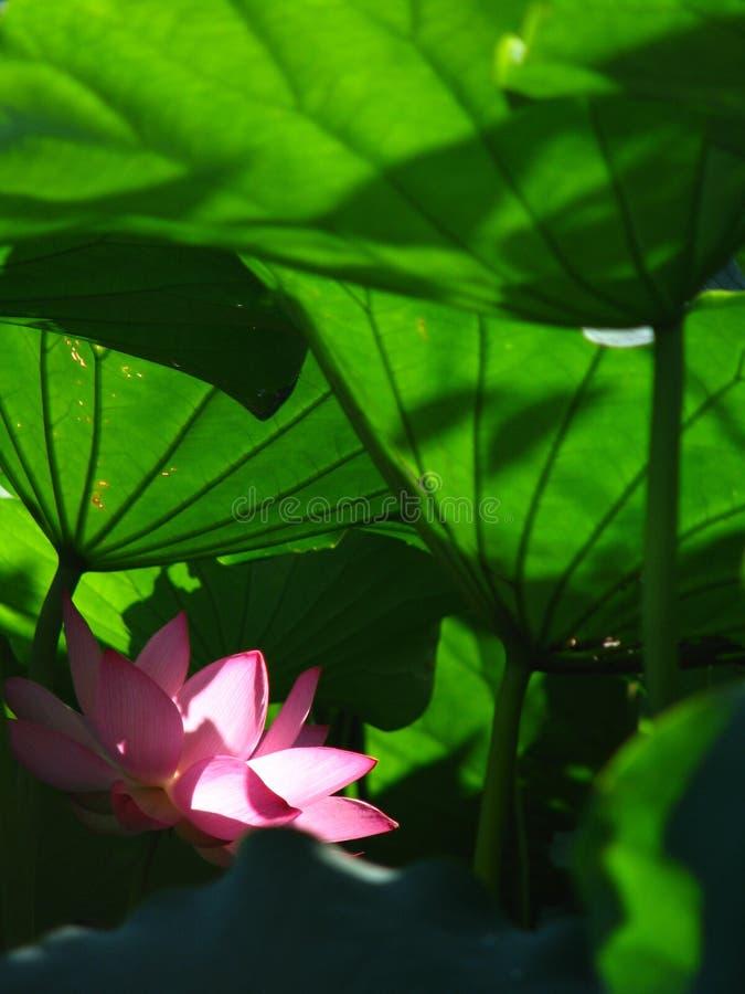 Lotus är helig och elegant arkivfoto