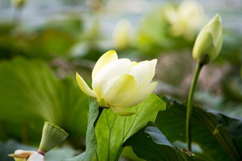 Lotus-Übernahme lizenzfreie stockfotografie