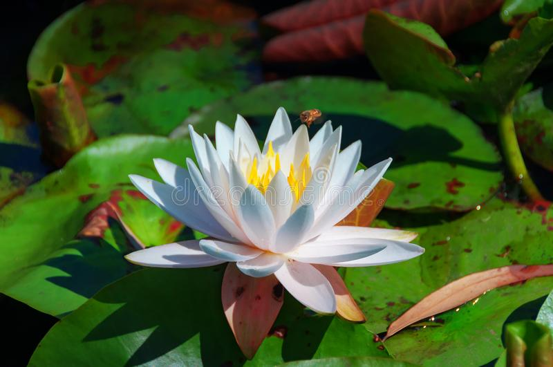 Lotus, λουλούδι κρίνων νερού που επικονιάζεται από τη μέλισσα στοκ εικόνες