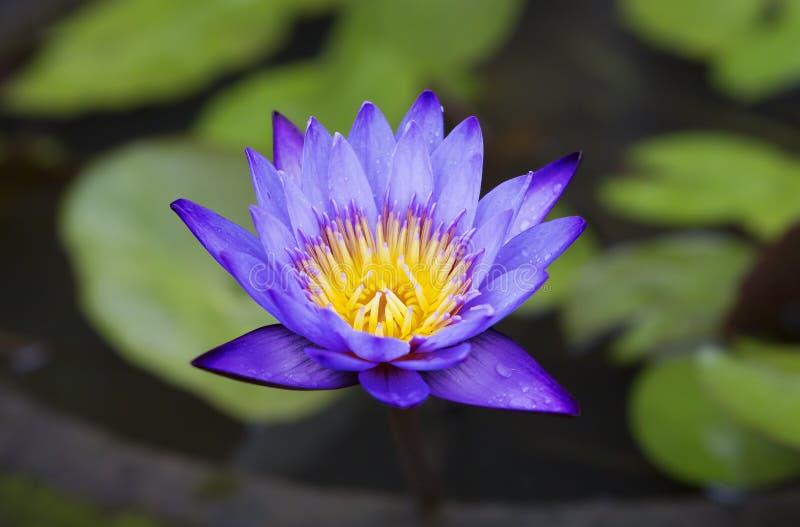 Lotus λουλουδιών στοκ φωτογραφία