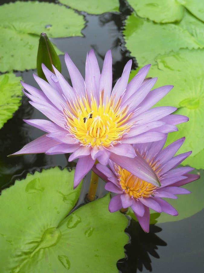 Lotus με την πορφύρα στοκ εικόνες με δικαίωμα ελεύθερης χρήσης