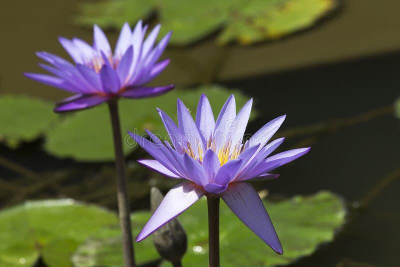 Lotus λουλουδιών στοκ φωτογραφίες