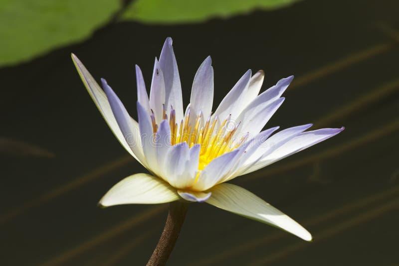 Lotus λουλουδιών στοκ εικόνες