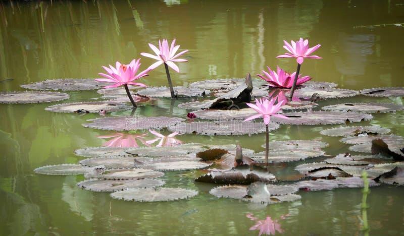 Lotus που ανθίζει στις λίμνες στοκ εικόνα