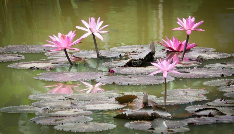 Lotus που ανθίζει στις λίμνες στοκ εικόνες