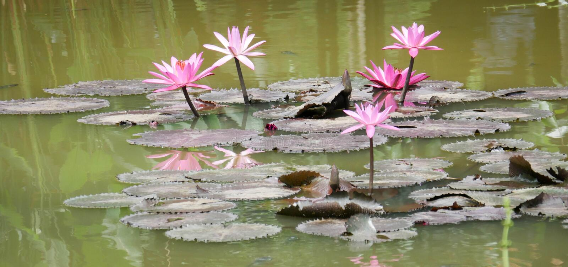 Lotus που ανθίζει στις λίμνες στοκ φωτογραφία με δικαίωμα ελεύθερης χρήσης