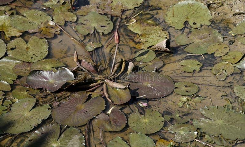 Lotus στην ξηρά λίμνη σε θερινή περίοδο στοκ φωτογραφίες