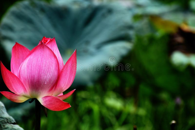 Lotus стоковые изображения rf
