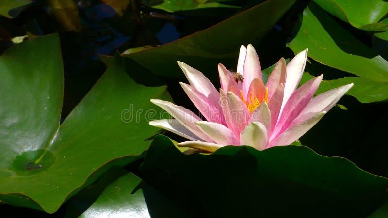 lotus imagem de stock