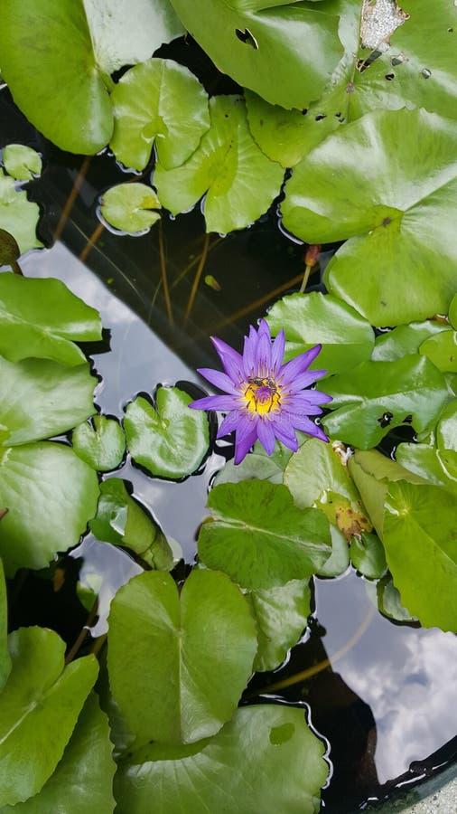 Lotus foto de archivo libre de regalías