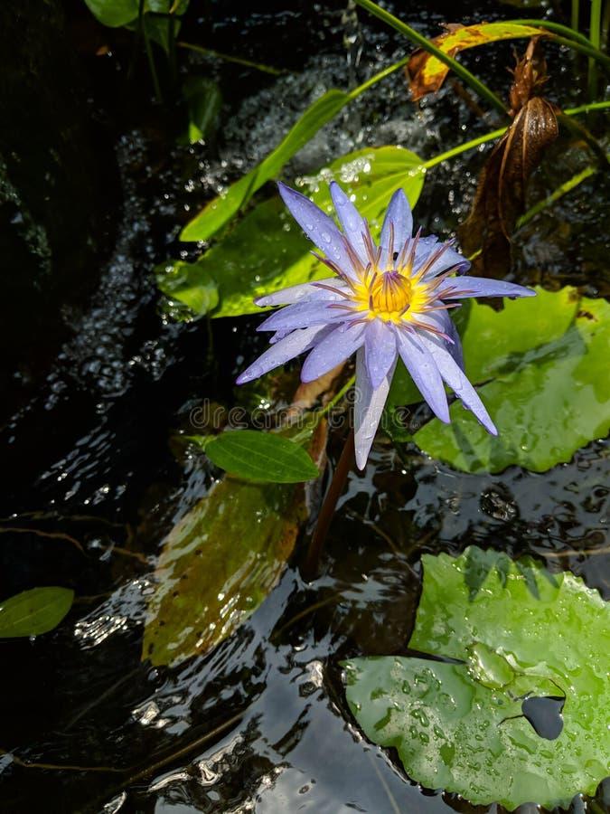 Lotus01 fotografie stock