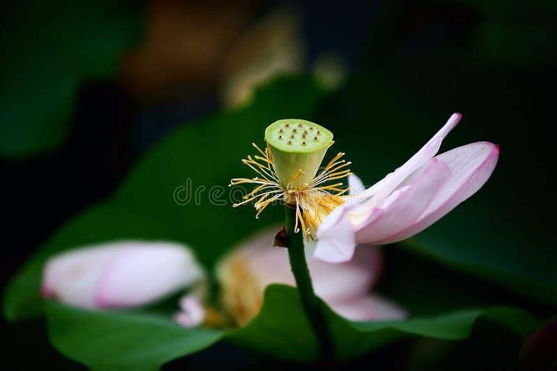 Lotus royaltyfria bilder