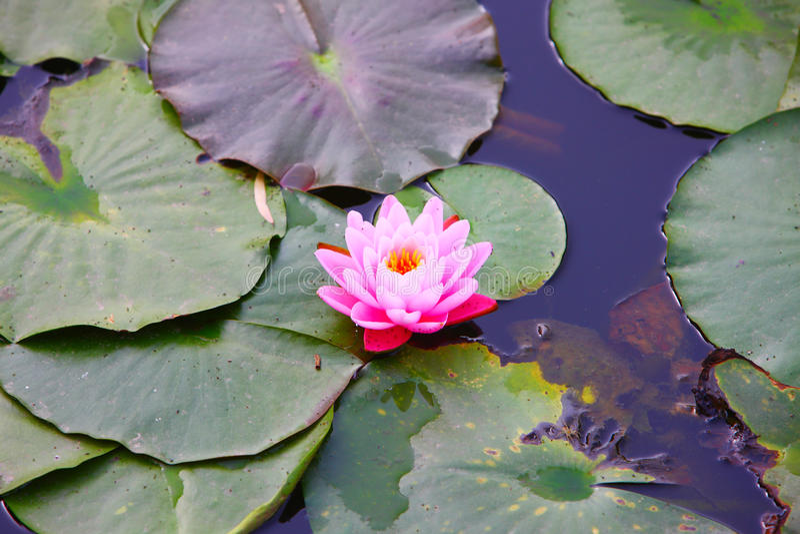 Download Lotus stock photo. Image of lake, outdoor, leaves, beautiful - 12159548