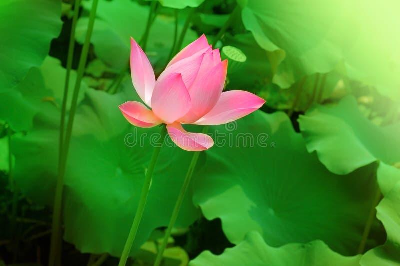 Download Lotus Stock Photo - Image: 12283300