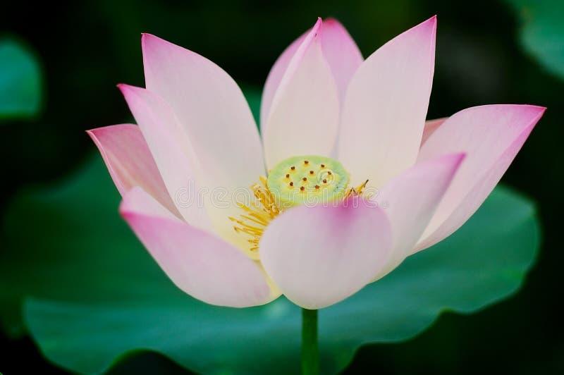 Lotus photographie stock