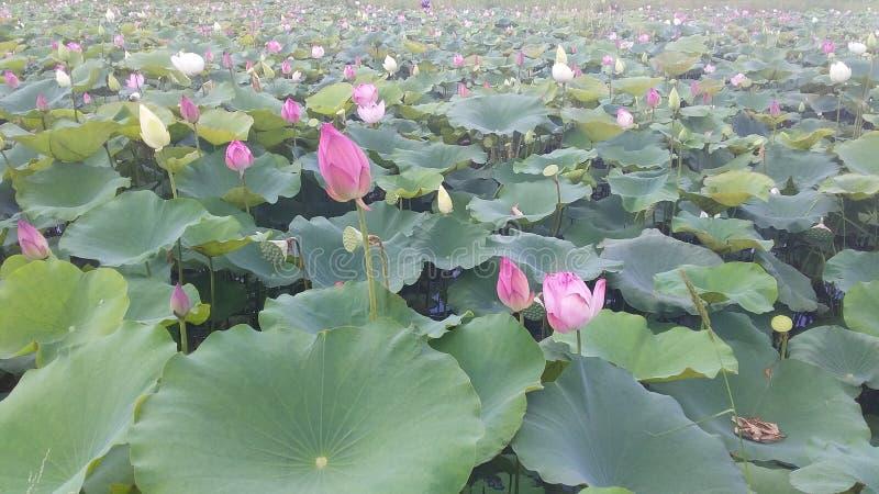 Lotus royaltyfri foto