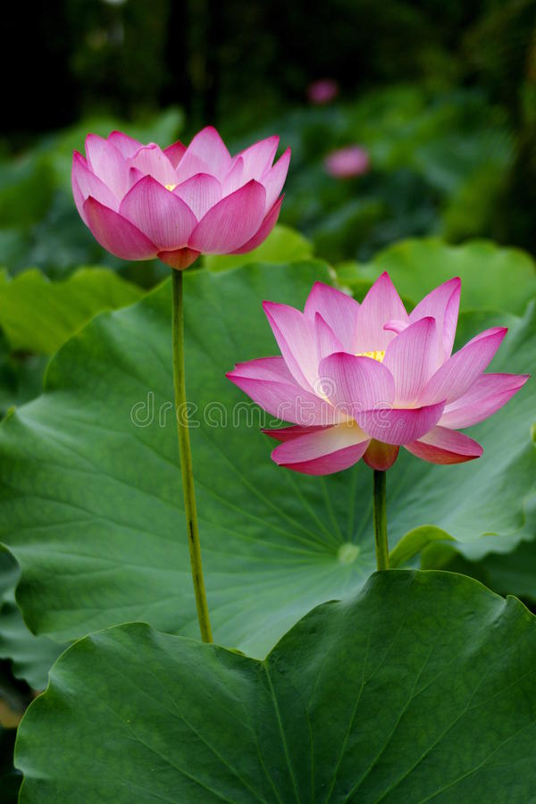Lotus stock fotografie
