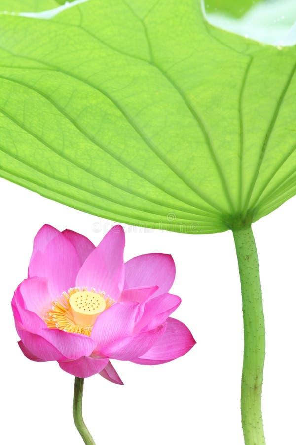 Download Lotus stock photo. Image of fresh, lotus, material, garden - 15284526