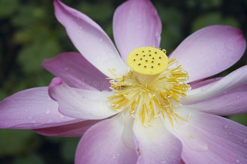 Download Lotus stock photo. Image of drops, flora, homeopathic - 15770424