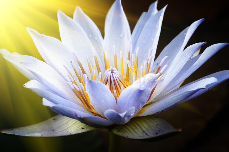 Lotus flower. With drops of water on petals lit with sun rays royalty free stock images