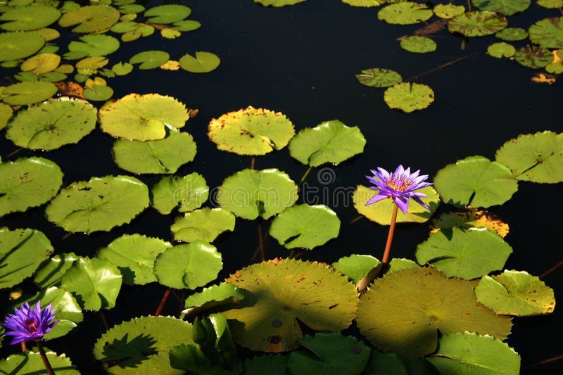 Download Lotus stock image. Image of pond, enchantment, pool, lilium - 199451