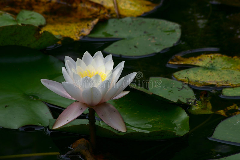 Lotus #2 στοκ φωτογραφία με δικαίωμα ελεύθερης χρήσης