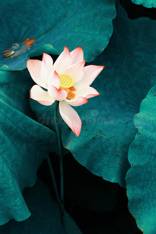 Lotus. Flower. It imitates traditional Chinese fine brushwork painting stock images