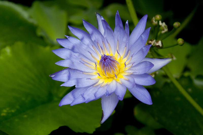 Download Lotus stock image. Image of blue, exotic, calm, isolated - 21144371