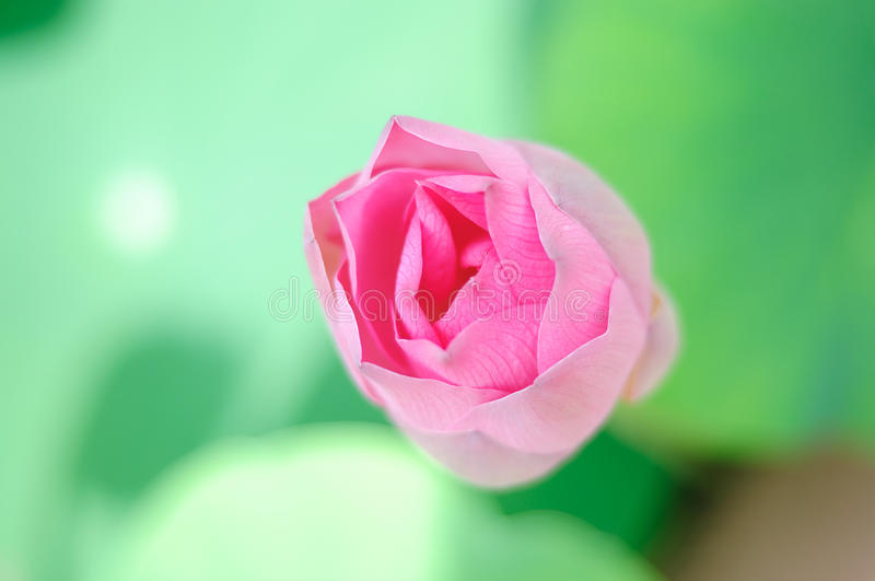 Download Lotus stock image. Image of color, clean, pure, summer - 24397755