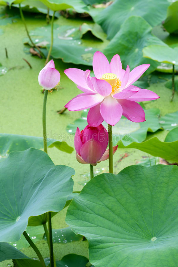 Download Lotus stock photo. Image of pink, close, beautiful, flower - 25843154