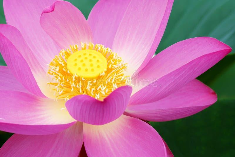 Download Lotus Stock Photos - Image: 25845333