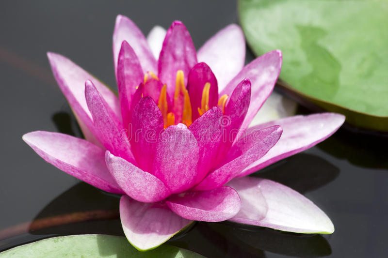 Download Lotus stock image. Image of detail, peace, lily, lilly - 25867331