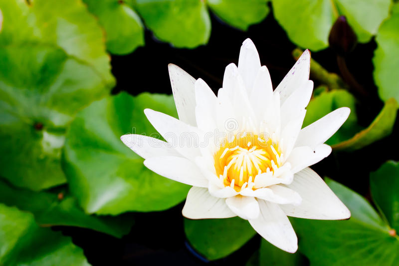 Download Lotus stock image. Image of close, lily, plant, blooming - 25904555