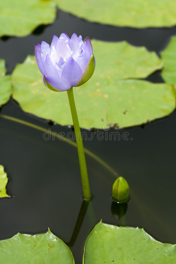 Download Lotus Royalty Free Stock Photography - Image: 25965367