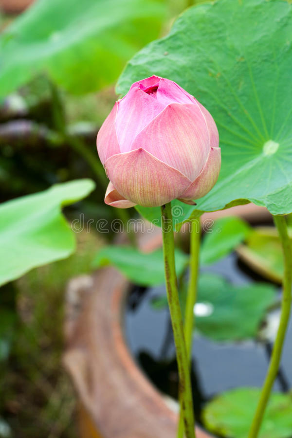 Download Lotus stock photo. Image of detail, blossom, nature, lily - 26196488