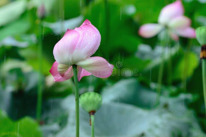 Download Lotus Royalty Free Stock Image - Image: 27510886