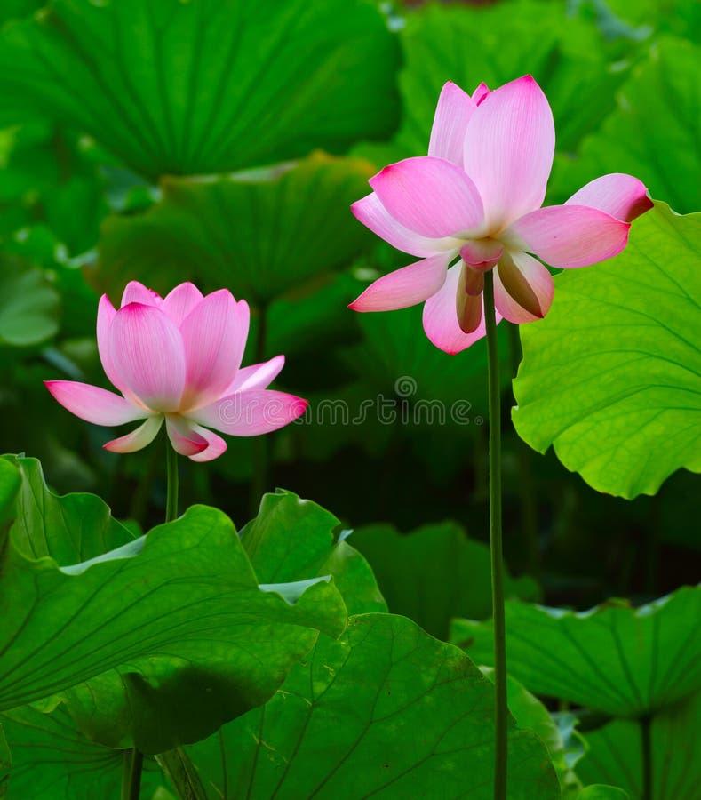 Download Lotus stock photo. Image of japan, lush, floral, decoration - 27953932