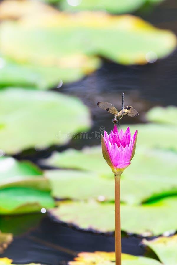 Lotus fotografie stock libere da diritti