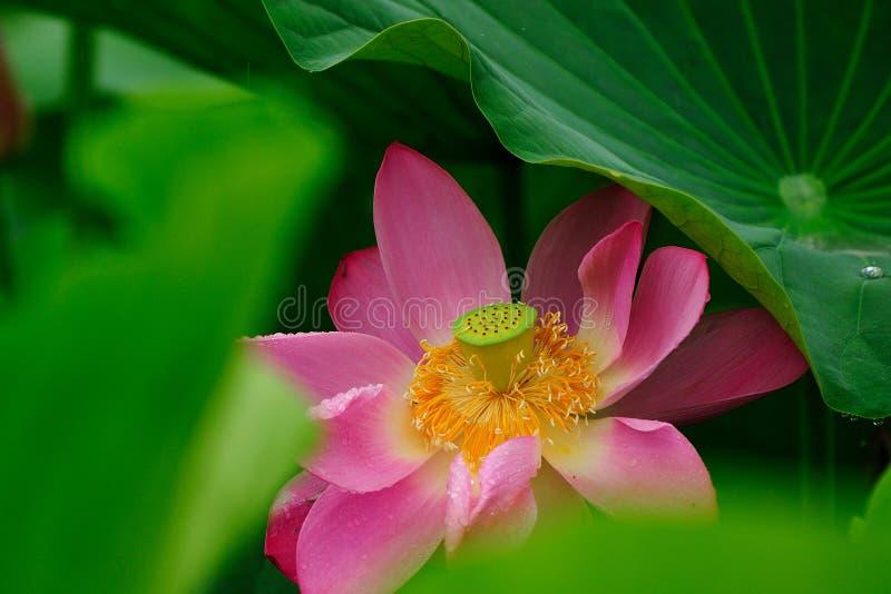 Lotus royaltyfri bild