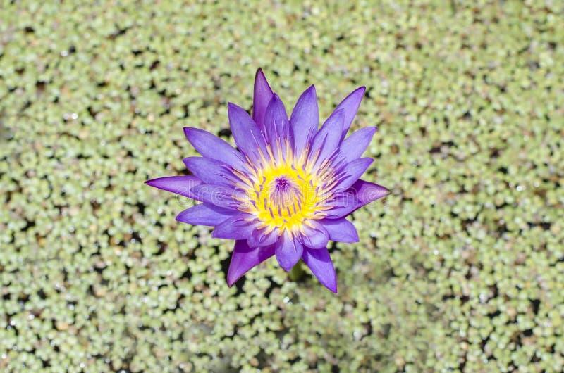 Download Lotus foto de archivo. Imagen de jardín, flores, loto - 42443618