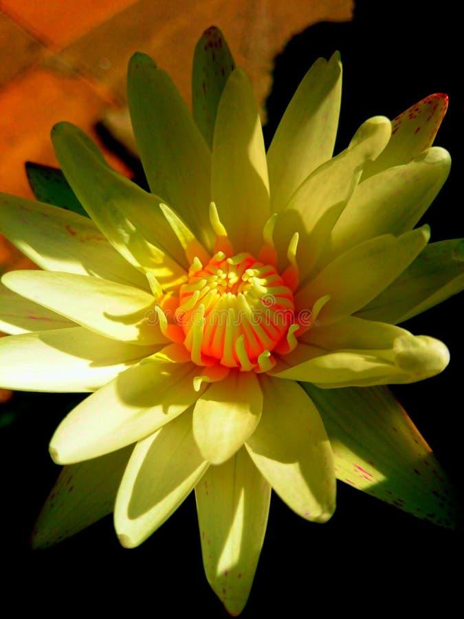 Lotus imagenes de archivo
