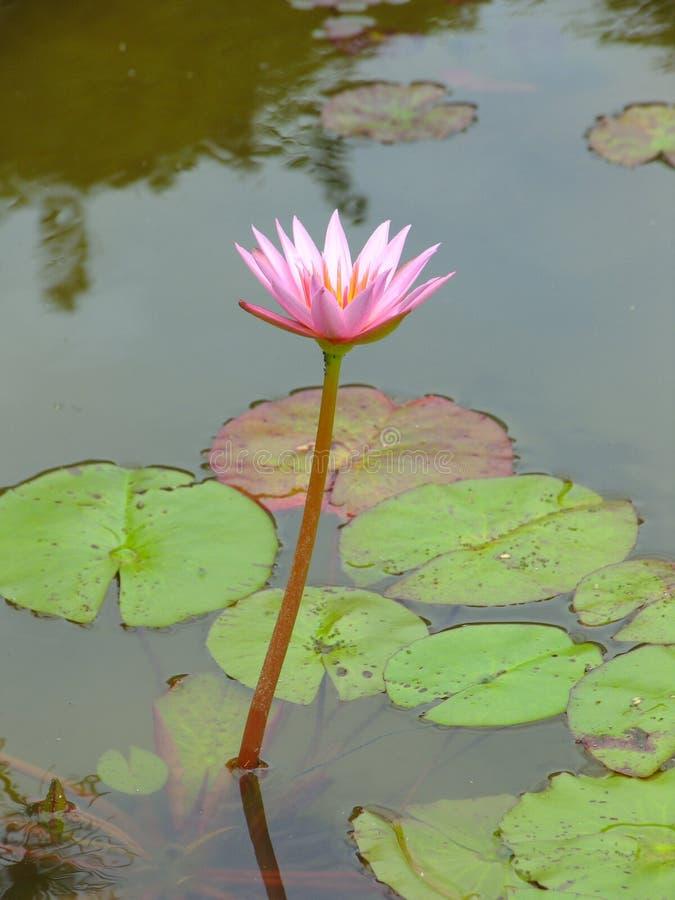 Lotus stock afbeelding